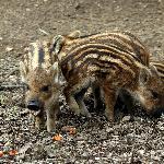 Piggly Wigglies