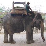 elephant on her way to work