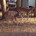 deer raom throughout campsites