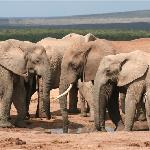Elephants at nearby Addo.