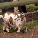 Georgie the little goat.