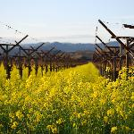 grape vines and mustard plants