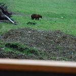 View from our cabin. (Black bear or young grizzly?)