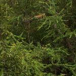 Iguana in the tree