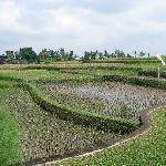 Surrounding padi fields at the hotel