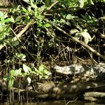 Crocodile spotting on the Daintree River