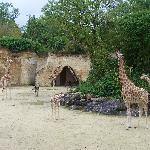 giraffe enclosure