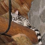 A Genet cat in the Restaurant rafters
