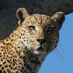 Our Beautiful Jao Leopard