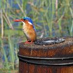 Amazing Kingfisher on Bridge