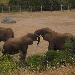 playful African elephants, seen from our porch