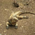 One of the Iguanas