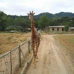 Giraffe greeting tour truck