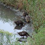 'Da Ducks'