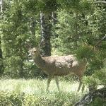 Mule deer at Mueller