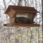 Birfeeder with Goldfinch on the back deck