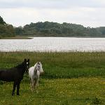 Horses relaxing at the lake