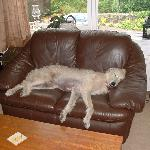 Owners Scottish deerhound relaxing in the lounge
