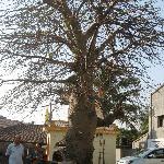 Baobao tree next to the hotel