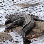 Resident croc at Ranganathittu