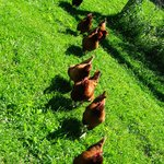 Hens in a row