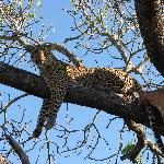 leopard with kill in the tree
