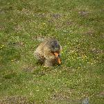 marmot on grossglockner