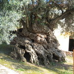 The Oldest Olive Tree in the World - Chania - Crete