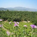 Vineyards of West Crete