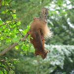 Red squirrel hanging from a bird feeder on the hotel grounds