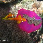 Nemo fishes with their purple anemone