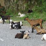 Goats in Road!