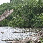 Driftwood on the Mississippi