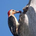 woodpecker feeding babies