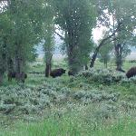 Bison enjoying a meal on the property