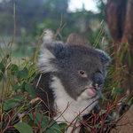 the sole koala - they aren't native to Tasmania
