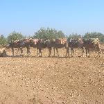 camels for riding on