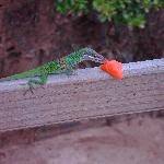 We gave some of our papaya to a funny lizard