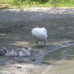 Schwanenfamilie direkt am Strand Strand