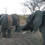 Elephants at Londolozi