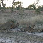 Lions at Londolozi