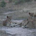 More lions at Londolozi