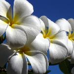 frangipani by the pool