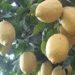 particolare terrazza di limoni