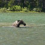 A moose in a lake, half a mile from the room