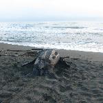 Leatherback turtle in Gandoca