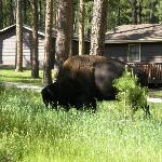 A buffalo grazing by our cabin!