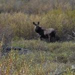 Mountain wildlife (Moose Cow)