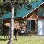 Moose in Front of Cabin