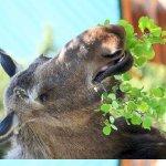 Moose Eating